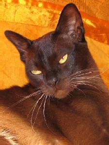photo-chat-Burmese-europeen.jpg