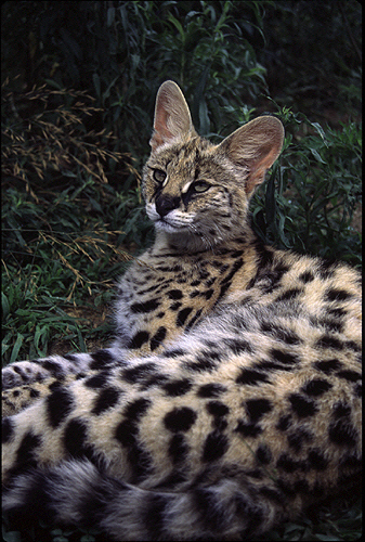 photo Serval Africain