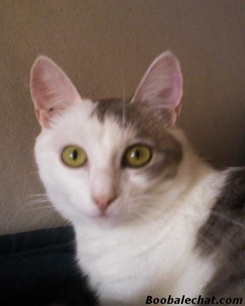 biloute-chat-blanc.jpg