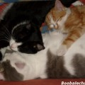 calin-entre-chats2