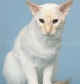 chat-Balinais2