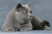 photo-chat-British-Shorthair