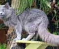 chat-Nebelung2