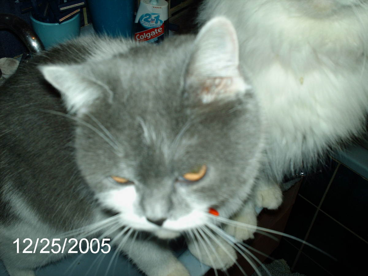 photo-chat-gris.jpg
