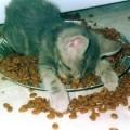 chat-dort-sur-assiette-croquettes3