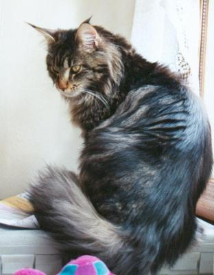 photo-Chat-maine-coon.jpg