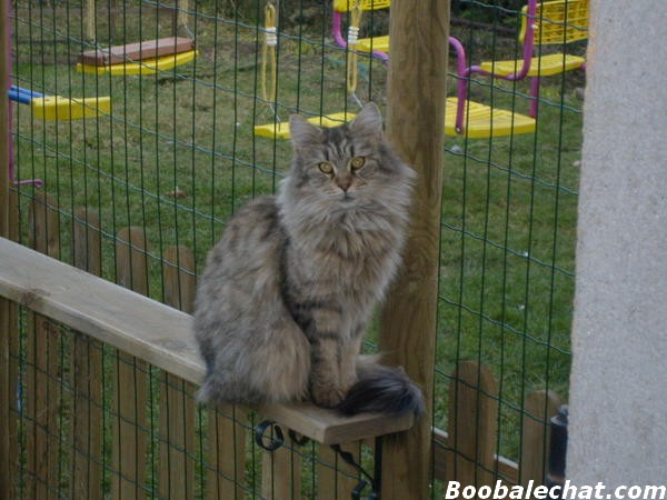 photo-maine-coon.jpg