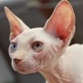 chat-nu-sans-poil-sphynx2