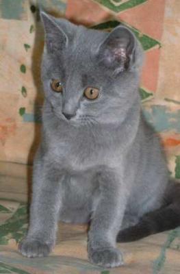 photo de Chartreux 3 mois.jpg
