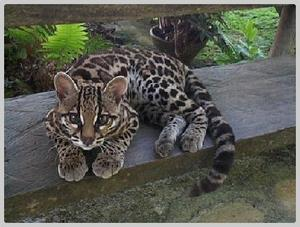 photo Margay.jpg